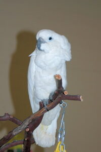 Young Triton Cockatoo.
