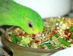 Crimson-winged Parrot, hen,