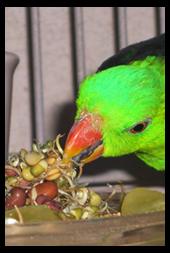 Crimson Winged Parrot